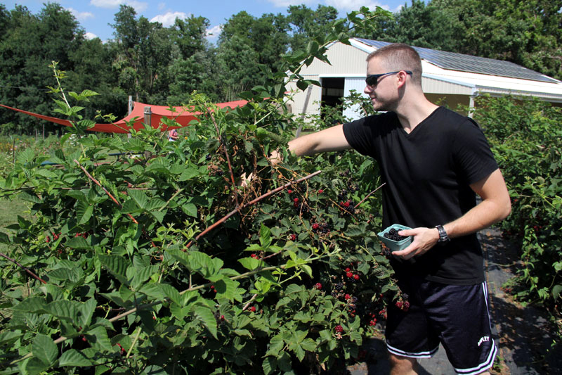 Jeff Kelly from Media picks berries at Red Hill Farm.