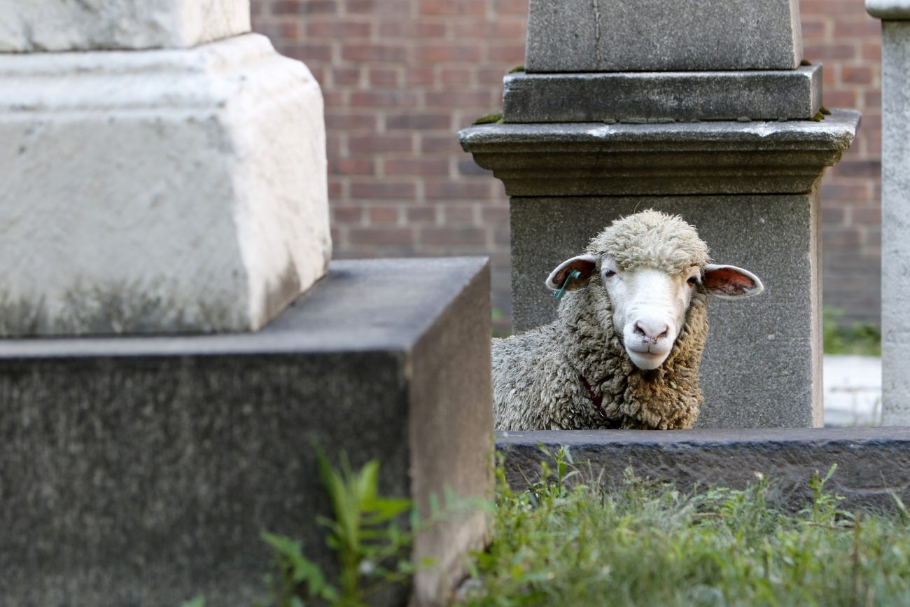 A sheep looks over a wall in the cemetery at the Basilica of St. Patrick's Old Cathedral in New York City Aug. 9. The parish is uses three grazing sheep to cut the graveyard's grass this summer. (CNS photo/Gregory A. Shemitz)