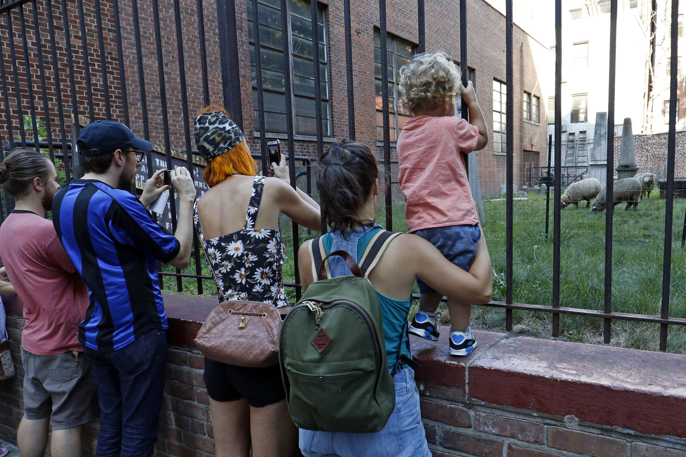People gather to look at sheep in the cemetery at the Basilica of St. Patrick's Old Cathedral in New York City Aug. 9. The parish is using three grazing sheep to cut the graveyard's grass this summer. (CNS photo/Gregory A. Shemitz)