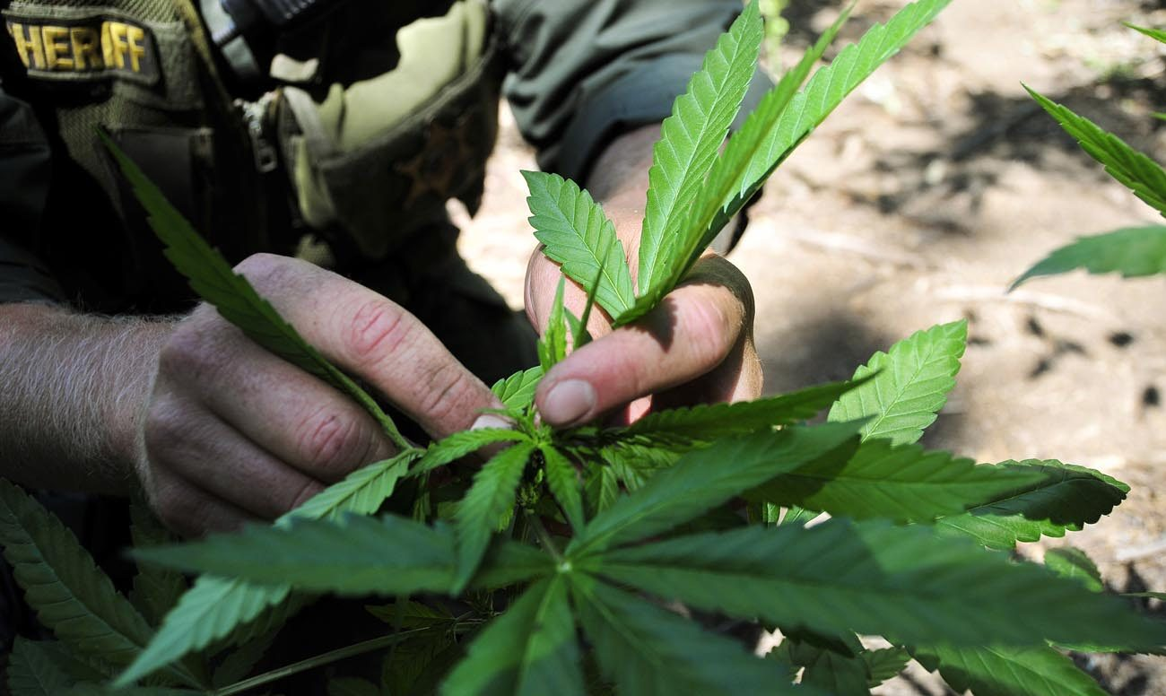A law enforcement officer is seen in 2010 pulling marijuana plants out of the Sierra Nevada mountain range in California. If voters legalize marijuana in California Nov. 8, the cannabis industry can expect sales to increase to $6.5 billion by 2020, a new cannabis industry marketing report predicts. (CNS photo/Fresno County Sheriff's Office via EPA)