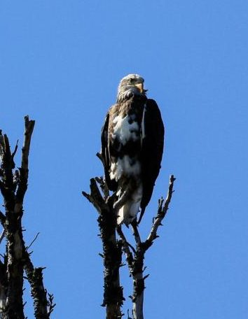 A young bald eagle perches on the limbs of a snag in Grand Teton National Park Aug. 9. (CNS photo/Nancy Wiechec)