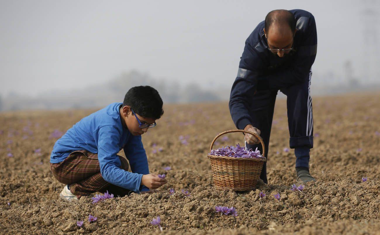 A Kashmiri farmer and a child pick saffron flowers from a saffron field in Pampore, India, Nov. 1. (CNS photo/Farooq Khan, EPA)