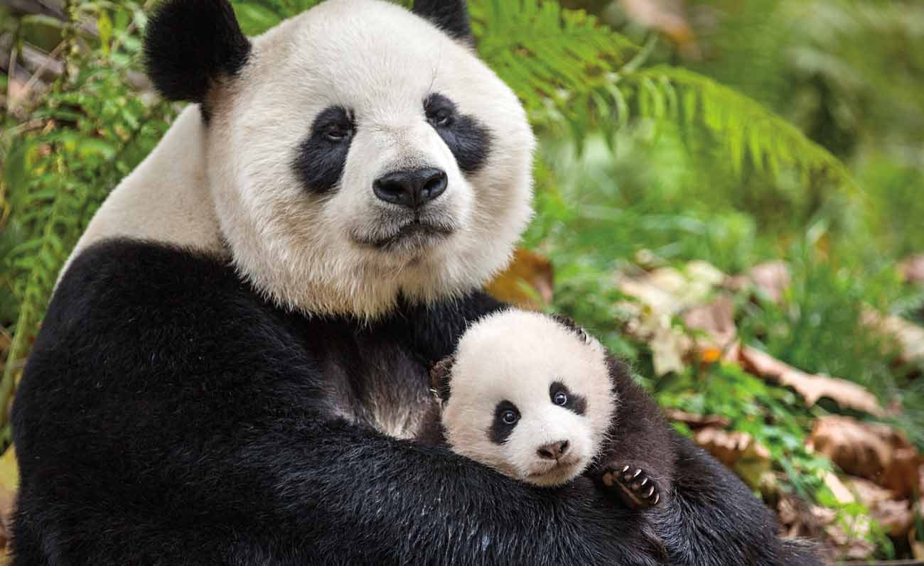 """A giant panda and her cub appear in the adventure movie """"Born in China.""""  (CNS photo/Disney)"""